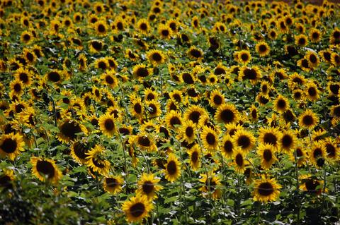 What sunflowers can teach us about the rhythm of life