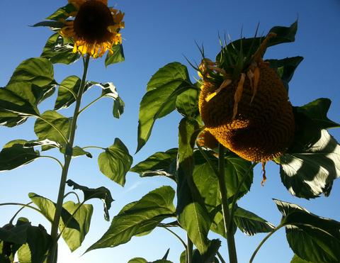 What sunflowers can teach us about the rhythm of life by Ellen Nadarajah