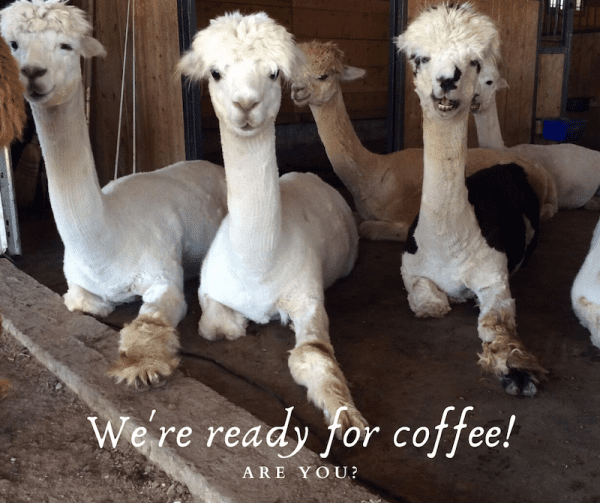 1 Year Anniversary of the COKANNA Coffee Shop by Colleen Kanna, Photo of 3 while alpacas